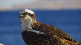 Marine Bird da águia pescadora da rapina senta-se no fundo do Mar Vermelho video estoque
