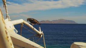Marine Bird da águia pescadora da rapina senta-se no mastro da curva do ` s do navio contra o fundo do Mar Vermelho vídeos de arquivo