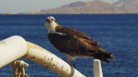 Marine Bird de balbuzard de proie s'assied sur le mât de l'arc du ` s de bateau sur le fond de la Mer Rouge banque de vidéos