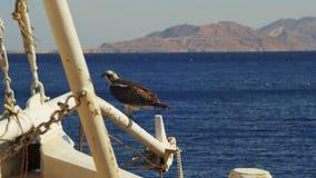Marine Bird del falco pescatore della preda si siede sull'albero dell'arco del ` s della nave contro fondo del Mar Rosso stock footage