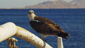 Marine Bird of Prey Osprey Sits on the Mast of the Ship`s Bow Against Background of Red Sea stock footage