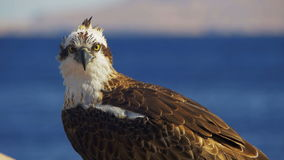 Marine Bird of Prey Osprey Sits on the Mast of the Ship`s Bow Against Background of Red Sea