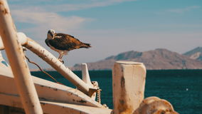 Marine Bird of Prey Osprey Sits on the Mast of the Ship`s Bow and Defecates Against Background of Red Sea stock video footage