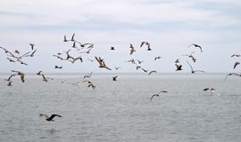 Free Marine Birds Royalty Free Stock Image - 884226
