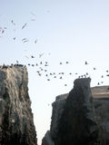 Marine Birds of Anacapa. Marine birds roost and fly on islands off of Anacapa Stock Photos