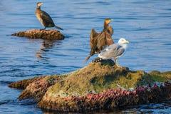 Marine Birds på vaggar Arkivfoto