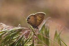 Marine Blue-vlinder royalty-vrije stock afbeeldingen