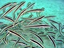 Marine Catfish Stock Images