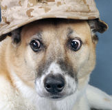 Marine Corp Dog. Stock Image
