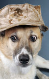 Marine Corp Dog. Royalty Free Stock Images