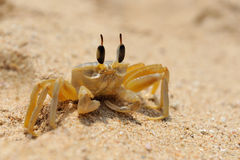 Marine crab on beach Royalty Free Stock Photo