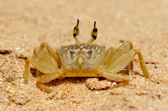Marine crab on beach Stock Images