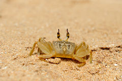 Marine crab on beach Stock Photo