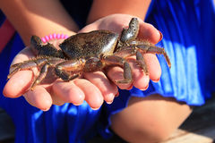 marine crab in the hands of a girl Royalty Free Stock Photography