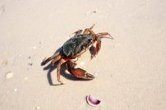 Marine crab Stock Photos