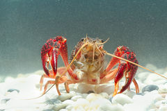 Marine crayfish in the  aquarium Royalty Free Stock Images