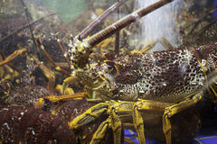 Marine crayfish in the demonstration aquarium restaurant in Maca Royalty Free Stock Photos