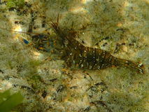 Marine crustacean. A marine crustacean on sea bottom Royalty Free Stock Image
