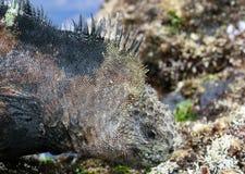marine d'iguane de Galapagos Photo libre de droits