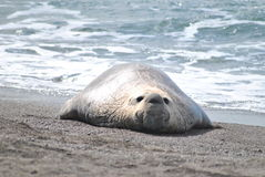 Marine elephant. An elephant seal rests on the ocean beaches near Puerto Madryn Stock Photography
