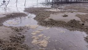 Marine Estuaries Mud Flats - Mangrove Swamp Forest. Mangrove swamps are found in tropical and subtropical tidal areas. Areas where mangal occurs include stock footage
