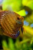 Marine fish. Closeup of a beautiful marine fish Stock Image