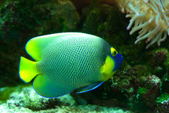Marine Fish. A colorful marine fish with a yellow tail, swimming in an aquarium Stock Image