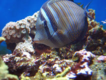 Marine fish Stock Photography