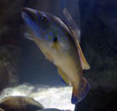 Marine Fish in Aqaurium Royalty-vrije Stock Foto's
