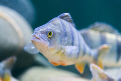 Marine fish in the aquarium in glass Royalty Free Stock Photography