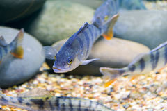 Marine fish in the aquarium in glass Royalty Free Stock Image