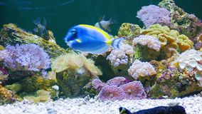 Marine fish in the beautiful underwater scenery in the aquarium. Video 1080p - Marine fish in the beautiful underwater scenery in the aquarium stock video