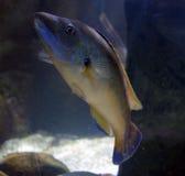 Marine Fish centre dans d'Aqaurium - de Hunstanton sealife - 25/9/16 Photo libre de droits