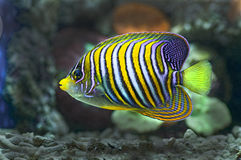 Marine fish Stock Images