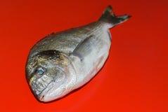 Marine fish dorado Stock Images