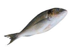 Marine fish dorado Royalty Free Stock Photography