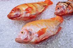 Marine fish on ice Stock Images