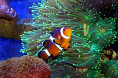 Marine Fish Isolated Royalty Free Stock Images