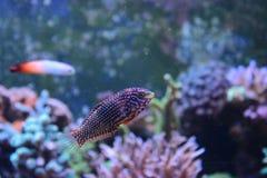 Marine Fish lokalisierte Lizenzfreie Stockfotografie