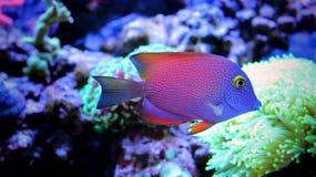 Marine fish in Marine aquarium. Coral reef aquarium tank Fish stock photography
