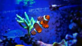 Marine Fish in Marine aquarium. Coral reef aquarium tank Fish royalty free stock images
