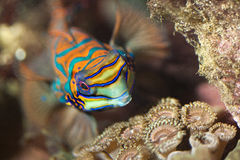Marine fish,reef fish,mandarin. At reef aquarium Stock Photos