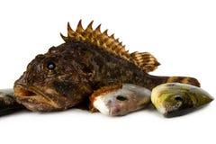 Marine fish (Scorpaena porkus, D. annularis L). Stock Photo