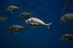 Marine fish Royalty Free Stock Photos