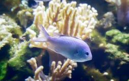 Marine fish swimming in the aquarium. Stock Photos