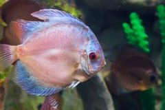 Marine fish swimming in the aquarium. Royalty Free Stock Image