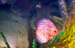 Marine fish swimming in the aquarium. Royalty Free Stock Images