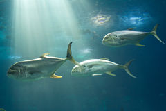 Marine fishes. Fishes in Lisbon Oceanarium, Portugal, Europe royalty free stock images