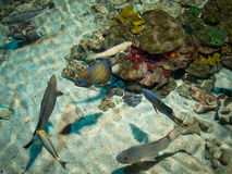 Marine fishes in the water Stock Photography