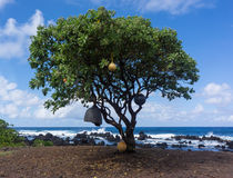 Marine floats hang from tree. African Tulip Tree on a Maui remote beach is decorated with boat buoys and fishing floats Stock Image